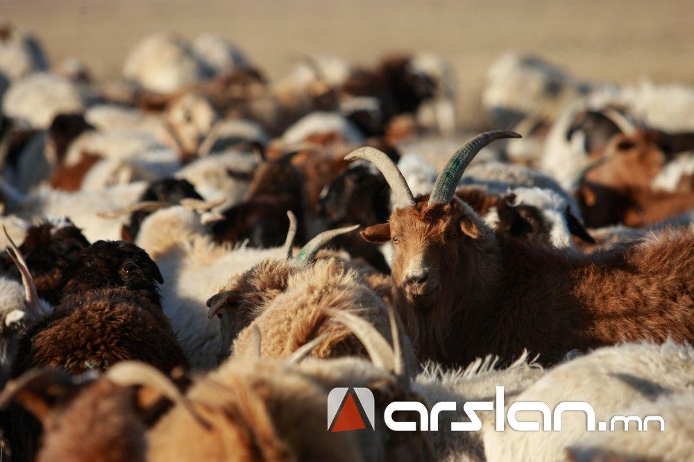 """""""Эмээлт"""" захад хонь, ямаа 110-250 мянган төгрөгийн үнэтэй байна"""