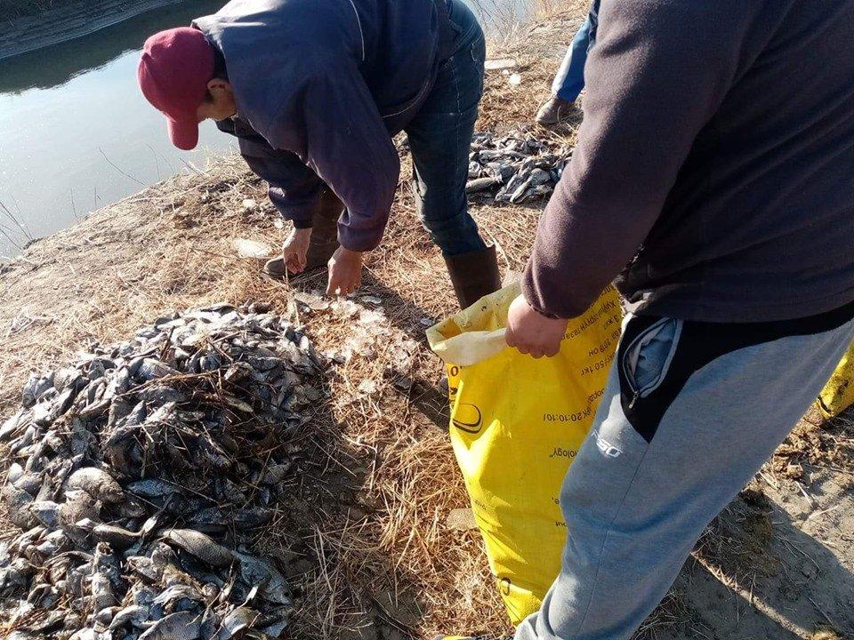 Орхон голын 12 000 мөнгөлөг хэлтэг загас усжуулалтын сувагт орж хорогджээ