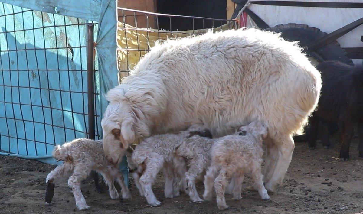 Говьсүмбэр аймагт хонь төллөж,  ДӨРВӨН ИХЭР ХУРГА гаргажээ